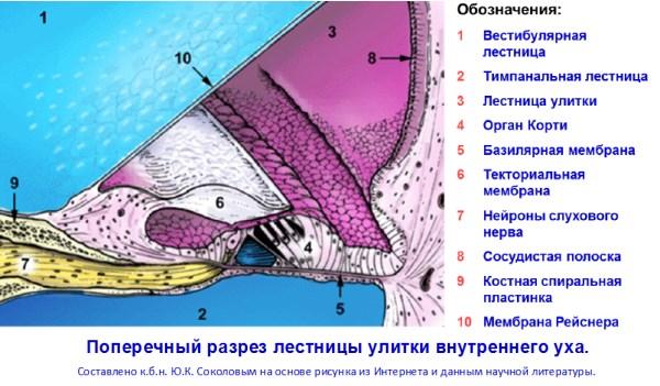 razrez-ulitki-600